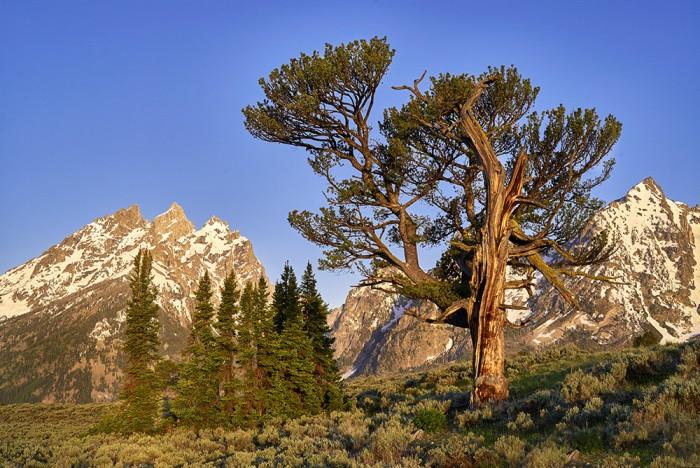Old Patriarch Tree - GTNP