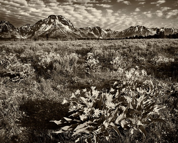 Mt. Moran - Morning Bloom in Sepia