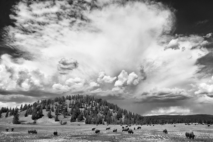 Free Roaming Bison in Yellowstone